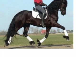 Bomproof Friesian gelding Available