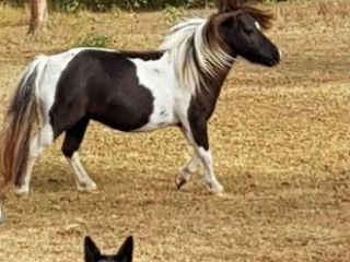 Outstanding Miniature horse mare by imported sire