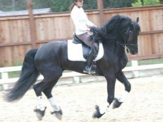 Friesian in New South Wales