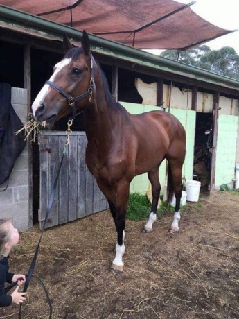 17.2hh blingy thoroughbred