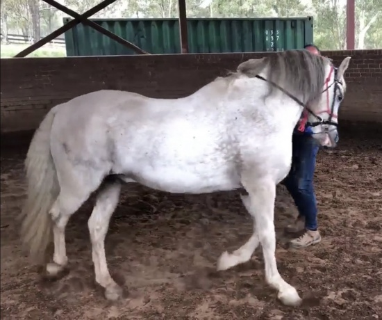 Andalusian in Queensland