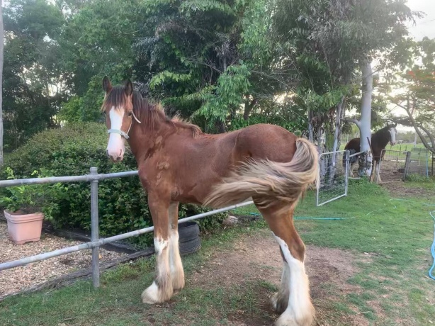 Clydesdale in Queensland