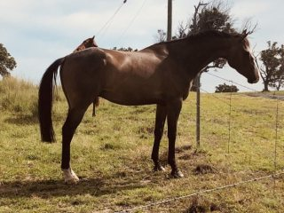 Blingy brown gelding