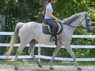 Warmblood Mare (Grey)