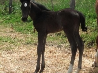 Arabian WB mare with black Andi x colt