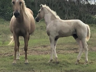 QH Mare in Foal w/ Filly at Foot