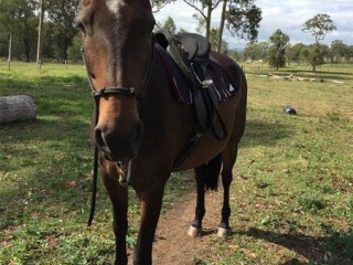 ASH/TB Gelding with a kind nature