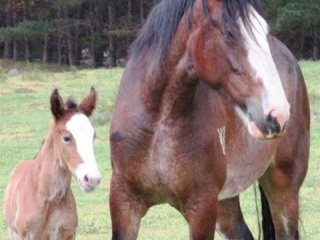 Clydesdale Mare @ Pure/B Filly foal
