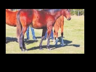 17hh Stud Book TB Mare Lease/Rehome