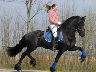 Beautiful black friesian gelding FOR SALE