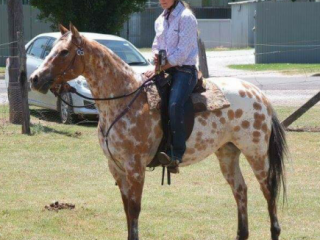 REGISTERED RED DUN LEOPARD GELDING