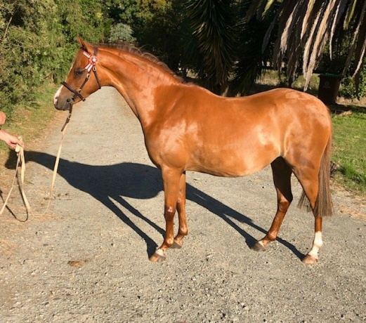 Lovely Small Show Pony Gelding