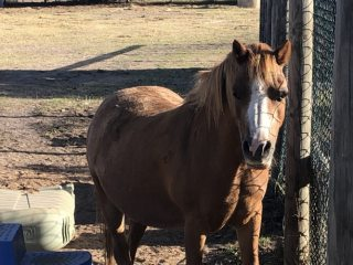 Tinkerbell- 14yo Welsh A mare