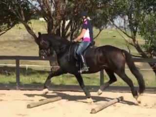 All Rounders - Warmblood in Queensland