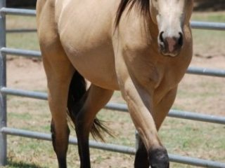 Elegant Buckskin Tennessee walker mare Available.