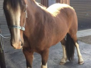 Beautiful 7 year old CLYDESDALE X (16 hh) as an allrounder for beginners/intermediates