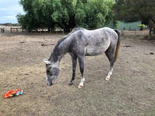 Curly, grey 3yo gelded Arabian.