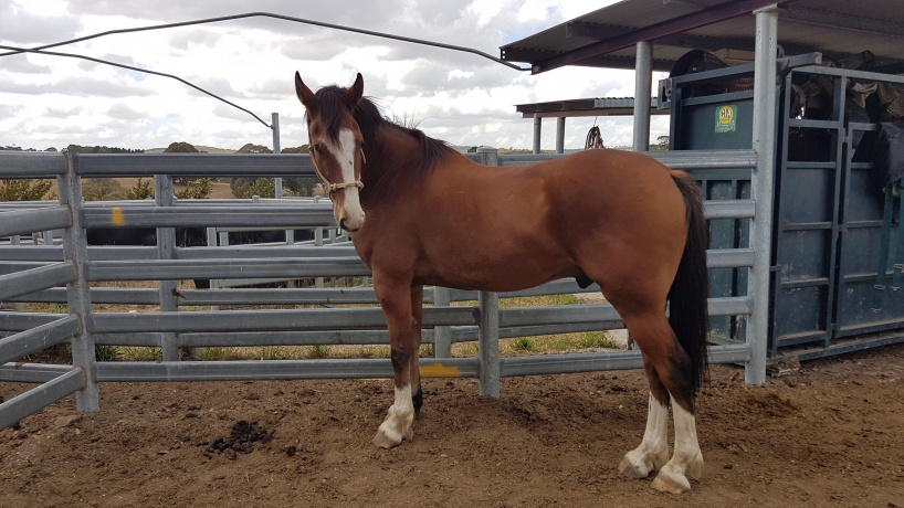 Clydesdale in New South Wales