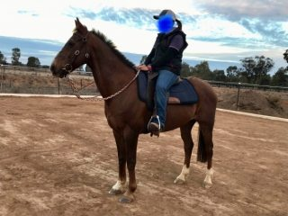Australian Stock Horse in New South Wales