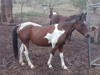 Standard breed paint mare 14h aprox 15 yo