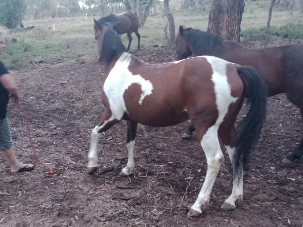 Paint Horse - Standardbred in New South Wales