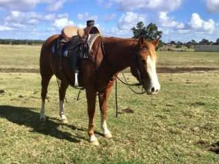 Quarter Horses - Quarter Horse in New South Wales