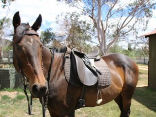 'Belle' thoroughbred bay mare 15.2hh