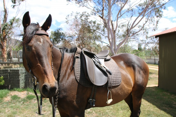 """Belle"" thoroughbred bay mare 15.2hh"
