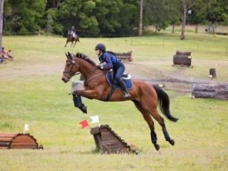 Thoroughbred Gelding By Show a Heart