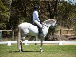 Competitive, reliable and fun Andalusian Gelding