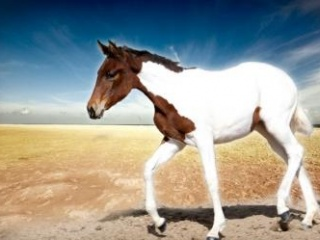 Beautiful quality pinto filly for sale