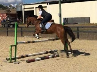 Amazing Sweet and Talented unraced 4yr old TB mare