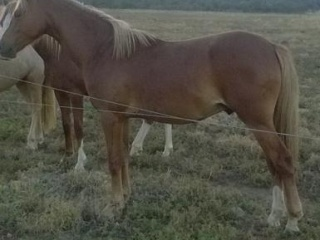Beautiful welsh REG gelding 13.3h ,2 in Nov