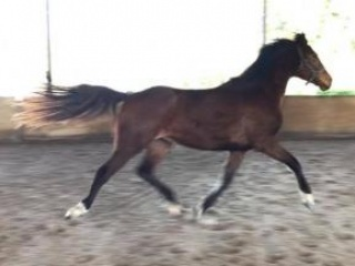 Fancy Rising 3 year old filly