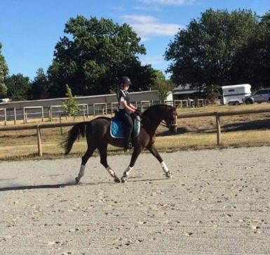 Super Dressage and Showing Mount