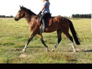 Friesian/TB/Clydesdale 5yr Perfect Temperament
