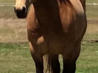Beautiful Buckskin Stallion AQHA + Mare A+