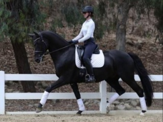 Advanced Dressage Gelding with an Amazing Personal