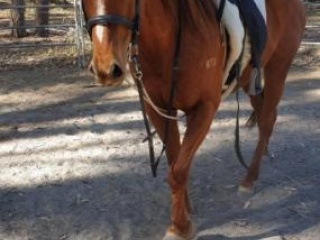 9yo Thoroughbred Mare