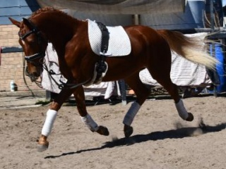 Grand Prix Quality Young Horse