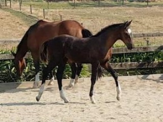 """World Class"" Deniro x Weltmeyer Black Colt"