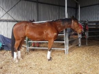 Registered Australian Stock Horse Filly