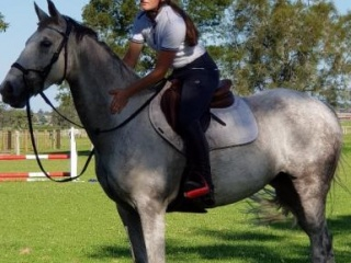 Impressive & Fun WB Mare 7yr Metallic Breeding