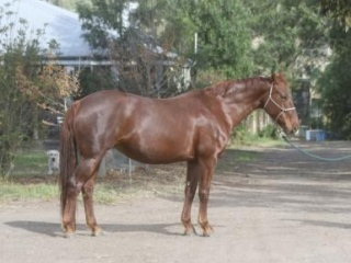 Broodmare imported from germany