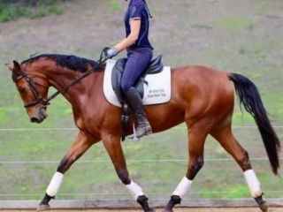 Young Show/Dressage Mount