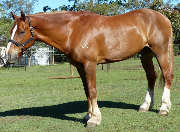 Stunning Purebred Welsh Cob (Section D)
