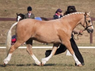 Exceptional Welsh C Pony
