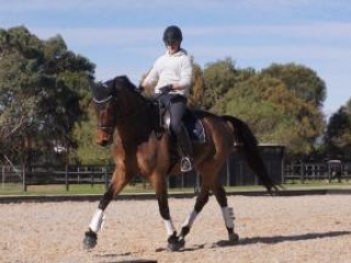 Stunning Medium Dressage Gelding