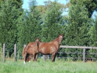 Lovely Imported Donnerhall broodmare