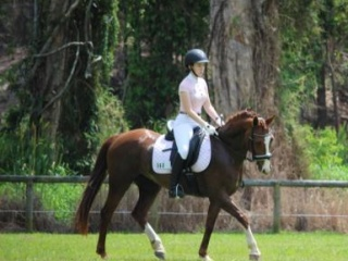 9yo 14.3hh Warmblood Mare for Sale